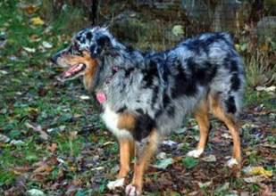 National English Shepherd Rescue English Shepherd Dog Rescue Group
